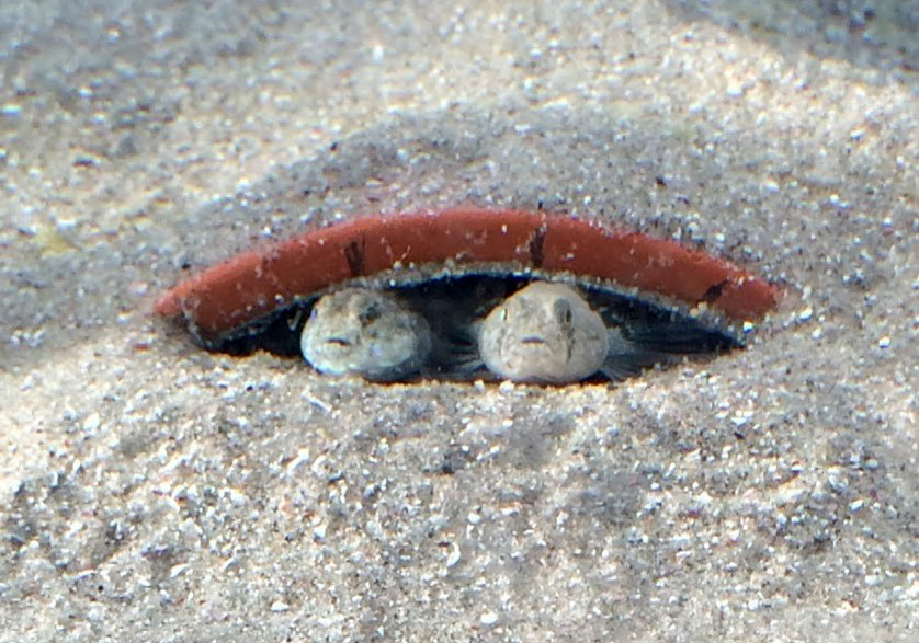 Male and female (common goby) in the nest.