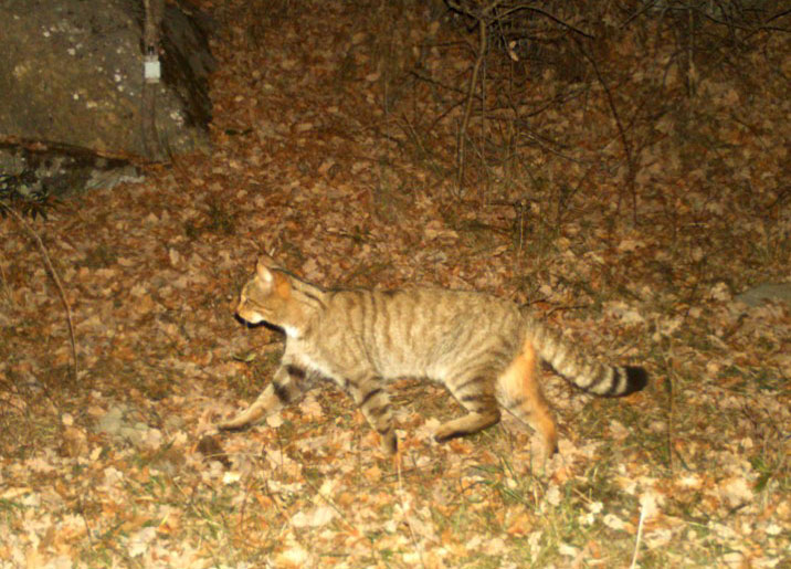 The wildcat passes in the dark. Its coat reminds of a domestic short-haired cat.