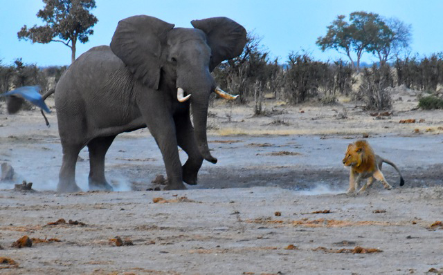 Elephant in a battle with a lion