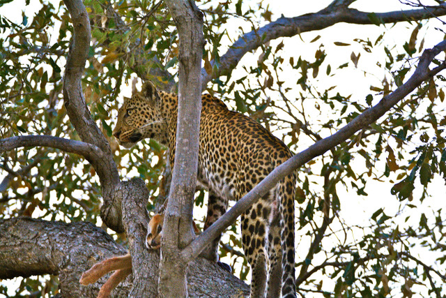Leopard sitting in tree.