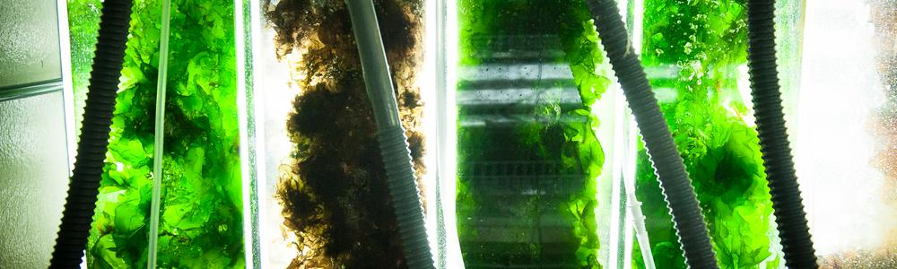 Indoor cultivation of green and red seaweeds at Tjärnö Marine Laboratory