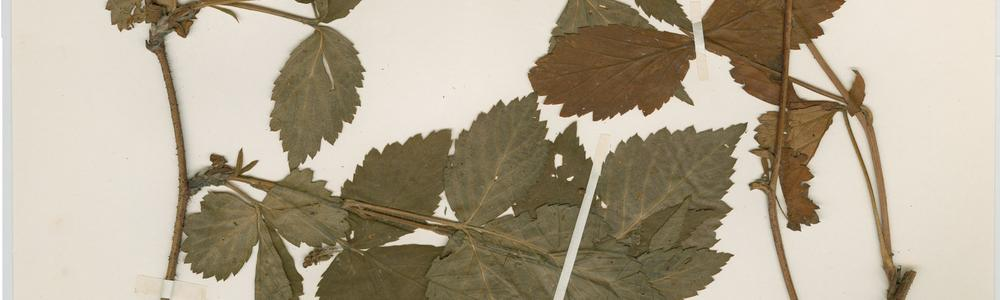 Image from the database Herbarium GB