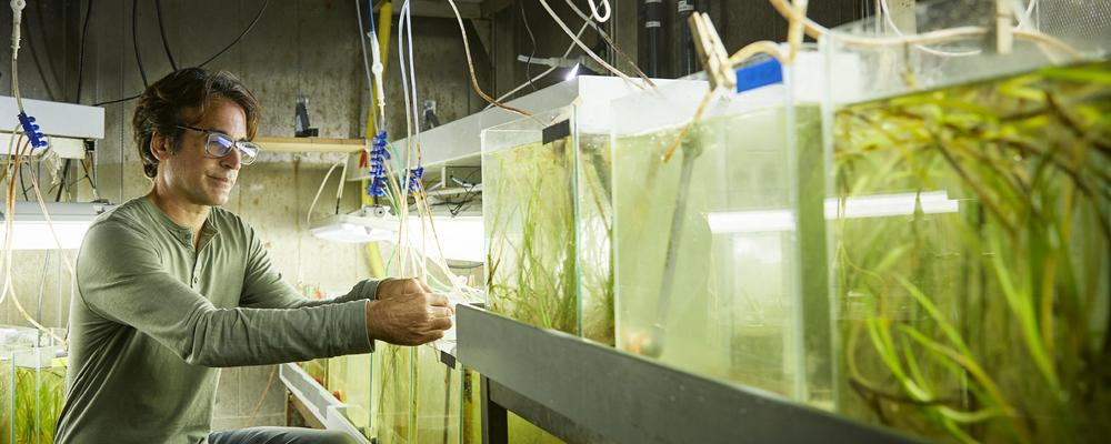 A researcher and aquarium tanks with eelgrass