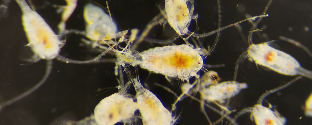 Marine hybrid fuel is toxic and has the potential to affect zooplankton over generations