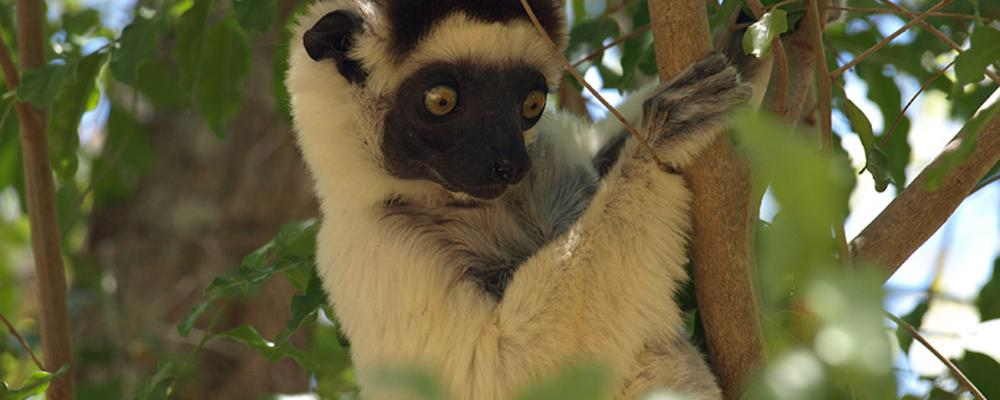 The critically endangered Verreaux's sifaka (Propithecus verreauxi), only found in the threatened dry forest in Western Madagascar.