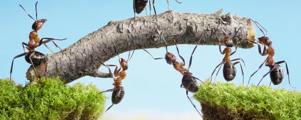 Ants working together to build bridge