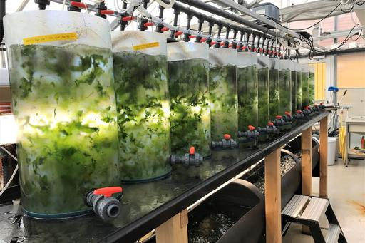 Tank cultivation of sea lettuce at Tjärnö marine laboratory.