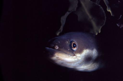 Eel is a threatened species