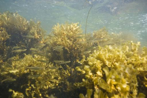 Small fish in Fucus